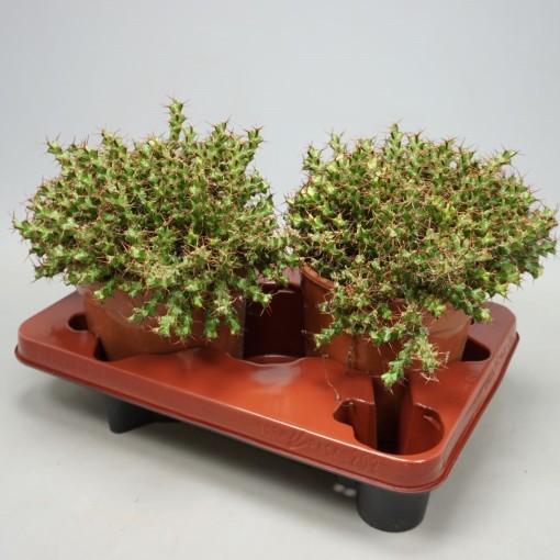 Euphorbia lenewtonii (Ubink)