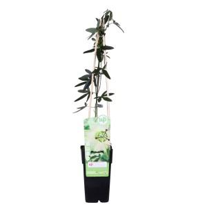 Passiflora caerulea 'Constance Elliott' (Hoogeveen Plants)