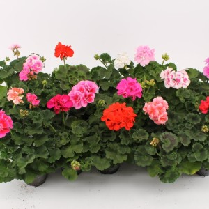 Pelargonium ZONALE MIX