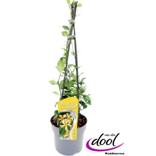 Trachelospermum jasminoides STAR OF TOSCANE (Van den Dool Plant BV)