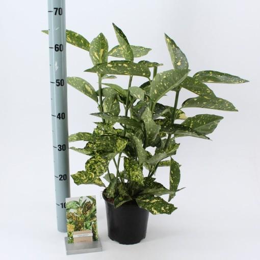 Aucuba japonica 'Crotonifolia' (About Plants Zundert BV)