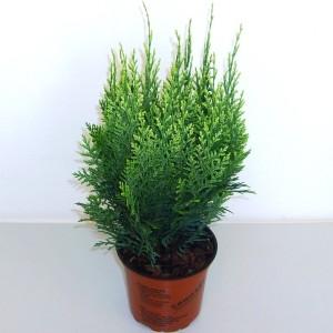 Chamaecyparis lawsoniana 'White Spot' (Boomkwekerij Potcultuur Gebr. Rademaker)