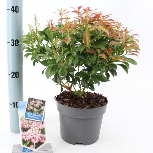 Pieris japonica PINK PASSION (About Plants Zundert BV)