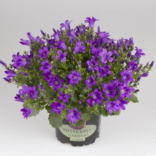 Campanula portenschlagiana ROYAL BLUE (Gasa DK)