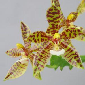 Phalaenopsis pantherina
