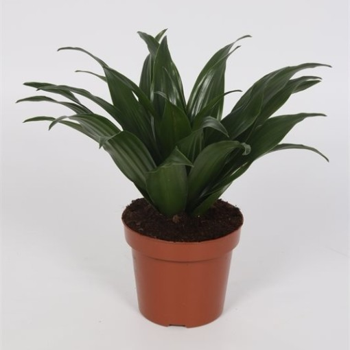 Dracaena fragrans 'Compacta' (Bunnik Plants)