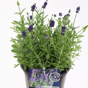 Lavandula angustifolia BLUE SCENT (Kwekerij de Noordpoel)