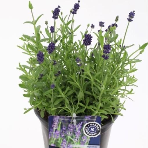 Lavandula angustifolia BLUE SCENT (Noordpoel, Kwekerij de)