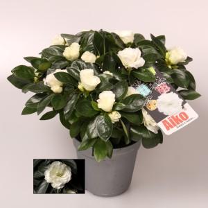 Rhododendron AIKO WHITE (FlorAmor)