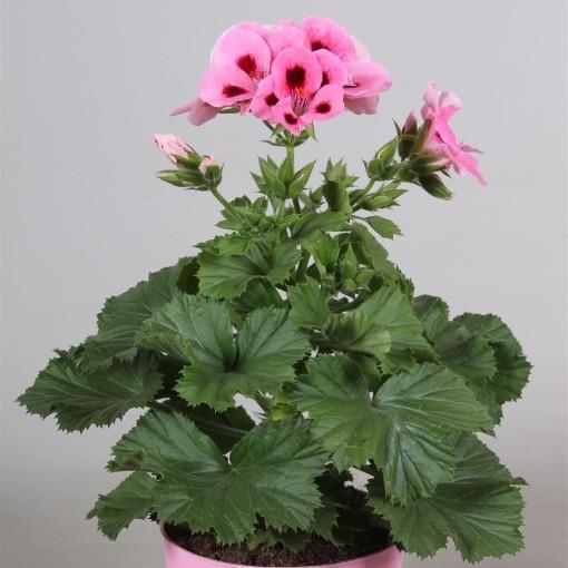 Pelargonium 'Regalia Mid Salmon' (Adrichem Potplanten)