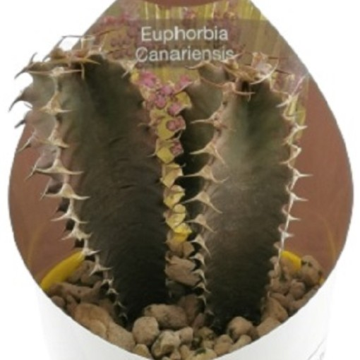 Euphorbia canariensis (Giromagi)