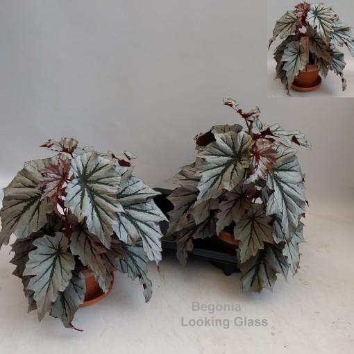 Begonia 'Looking Glass' (Hofstede Hovaria)