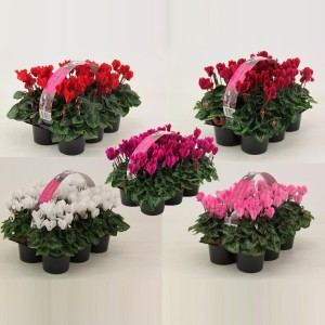 Cyclamen SUPER SERIE VERANO MIX