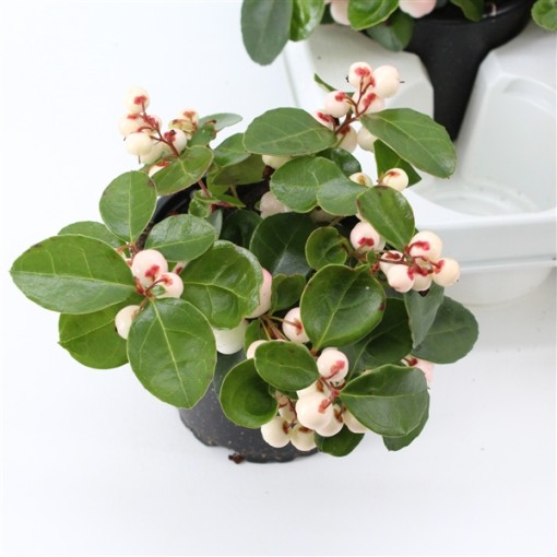 Gaultheria procumbens GAULTHIER PEARL (About Plants Zundert BV)