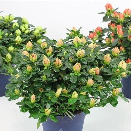 Rhododendron HORTINNO LIME MIX (FlorAmor)