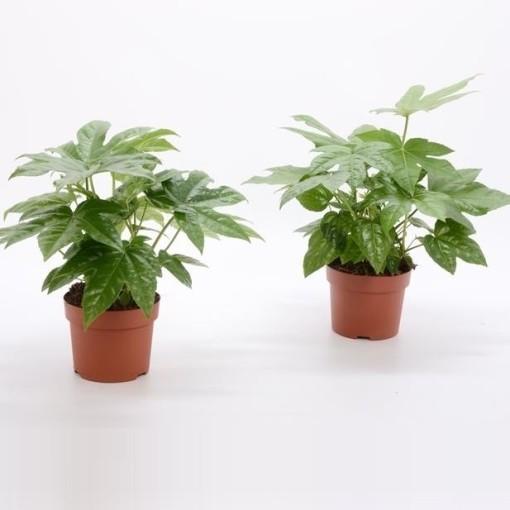 Fatsia japonica (Bunnik Plants)