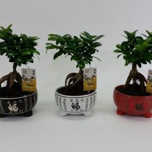 Ficus microcarpa 'Ginseng' (M&M Garden)