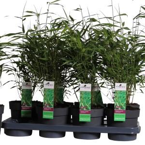Fargesia scabrida 'Asian Wonder' (Hoogeveen Plants)