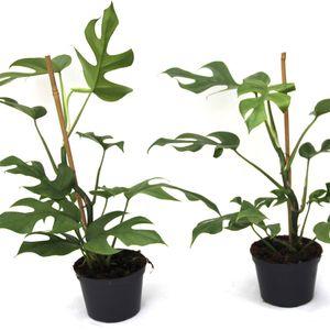 Philodendron 'Minima' (Gasa DK)