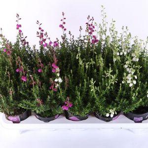 Daboecia cantabrica MIX (Experts in Green)