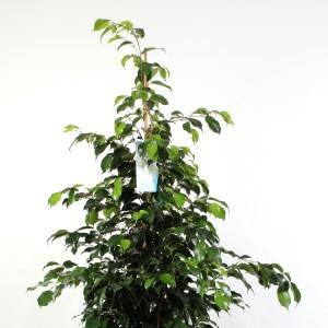 Ficus benjamina 'Midnight Lady'