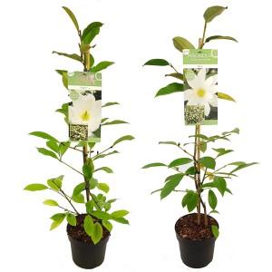 Magnolia FAIRY MIX