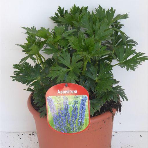 Aconitum x cammarum (Experts in Green)