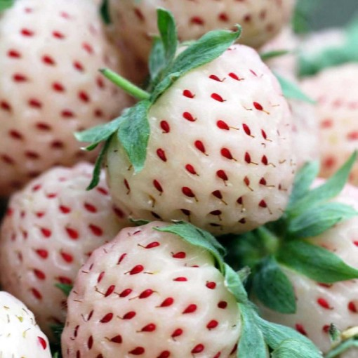 Fragaria x ananassa PINEBERRY (Experts in Green)