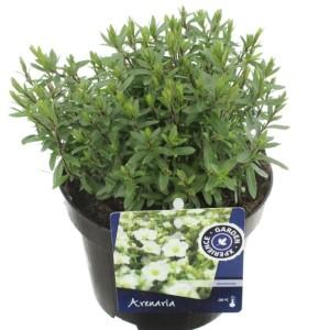 Arenaria montana (Kwekerij de Noordpoel)