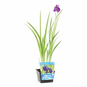 Iris ensata (Moerings Waterplanten)