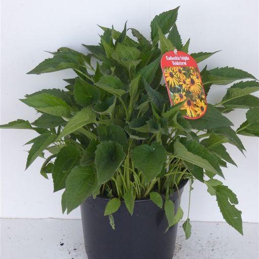 Rudbeckia fulgida 'Goldsturm' (Experts in Green)