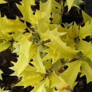 Osmanthus heterophyllus 'Ogon' (About Plants Zundert BV)