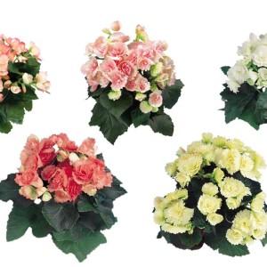 Begonia FRANJE MIX