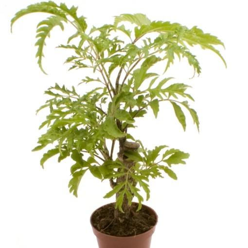 Polyscias filicifolia (GASA Group)