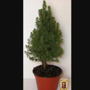 Picea glauca 'Zuckerhut'