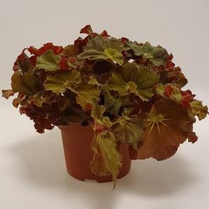 Begonia 'Lieke'