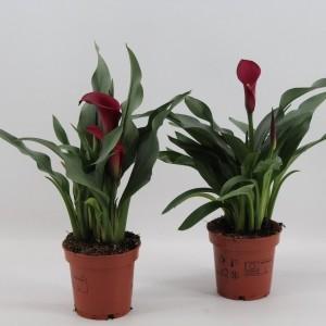 Zantedeschia CALLAFORNIA RED