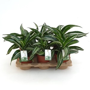 Dracaena fragrans 'Jade Jewel'