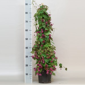 Rhodochiton atrosanguineus 'Purple Bells' (Gebr. Seuren Rozenkwekerijen BV)