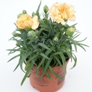 Dianthus SUNFLOR BLING BLING