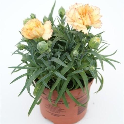 Dianthus SUNFLOR BLING BLING (Rodon Rolff B.V.)