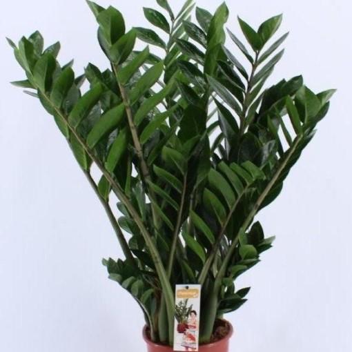 Zamioculcas zamiifolia (Vireõ Plant Sales)
