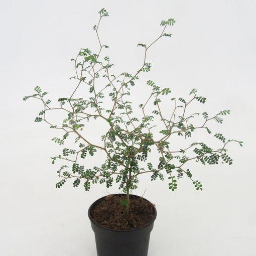 Sophora 'Little Baby' (Dool Botanic)