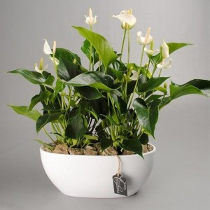 Arrangements Anthurium 'ANCR-1711'
