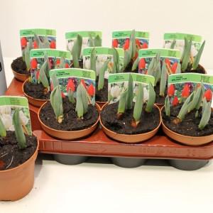 Tulipa MIX (Gebr. Straathof)