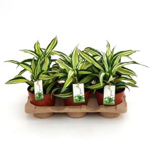 Dracaena fragrans 'Malaika'