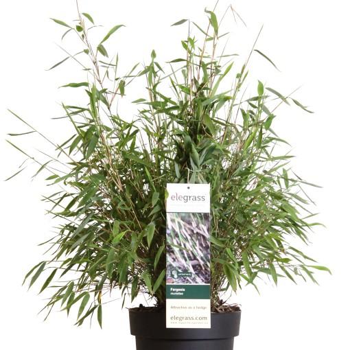 Fargesia murielae (Hoogeveen Plants)