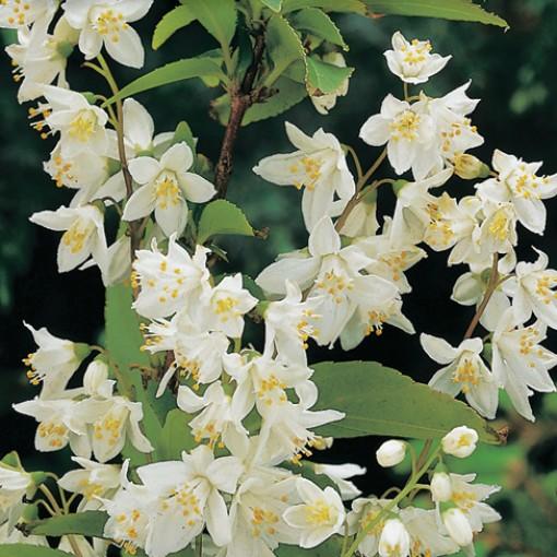 Deutzia gracilis (Hooftman boomkwekerij)