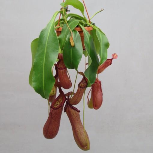 Nepenthes 'Rob' (JM plants)