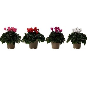 Cyclamen persicum SUPER SERIE S JIVE MIX